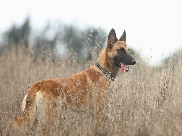 Adopt A Belgian Malinois Belgian Malinois Belgian Shepherd Malinois