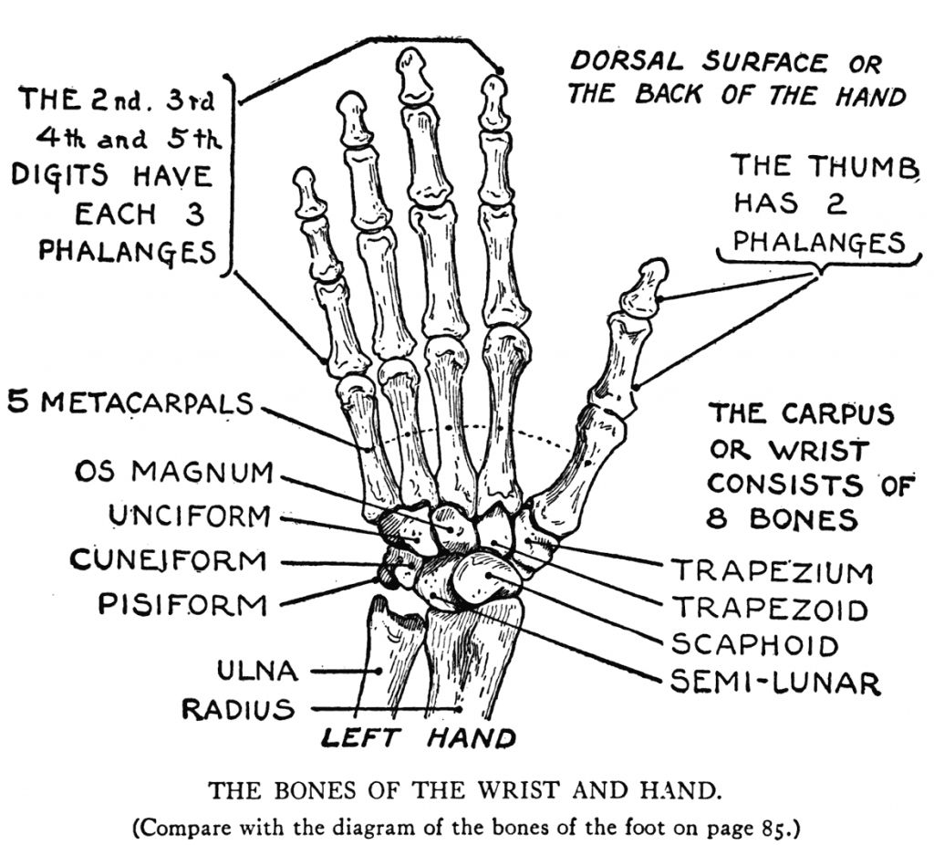 Bones Of The Right Hand Bone Skeleton Of Right Hand Human