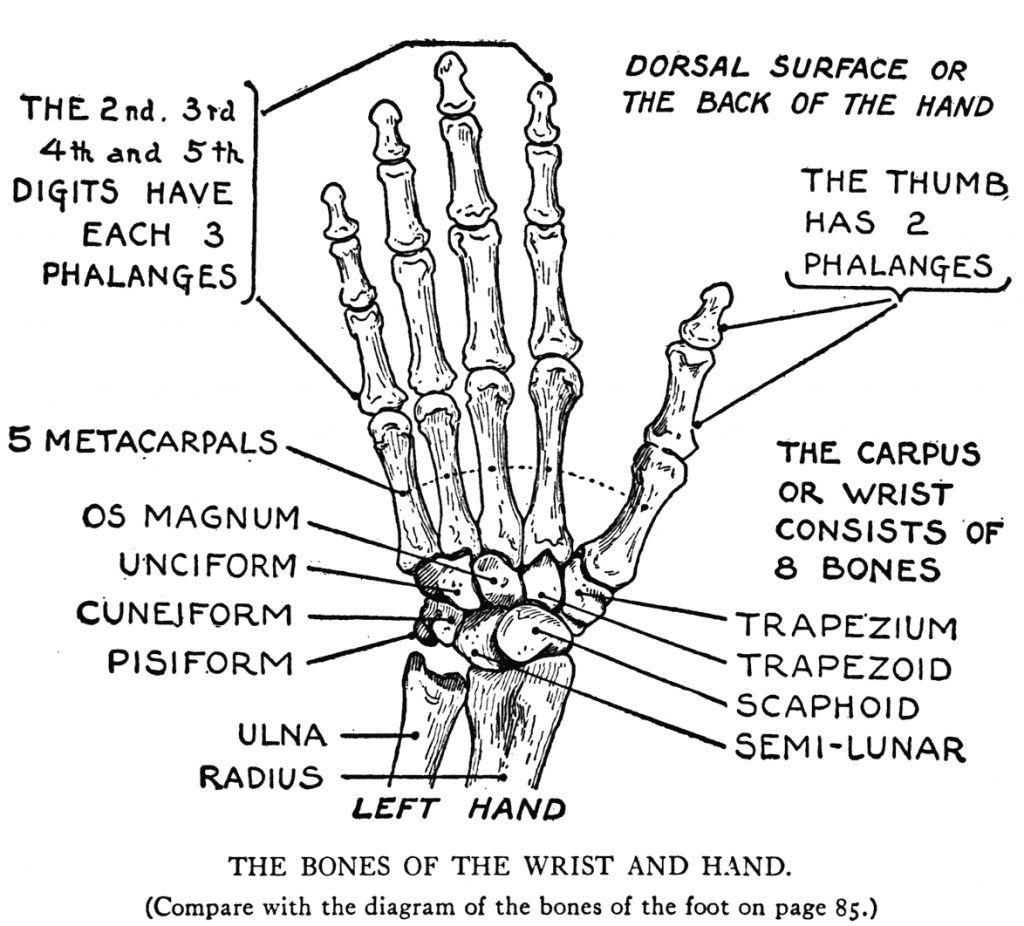 Bones Of The Right Hand Bone Skeleton Of Right Hand Human