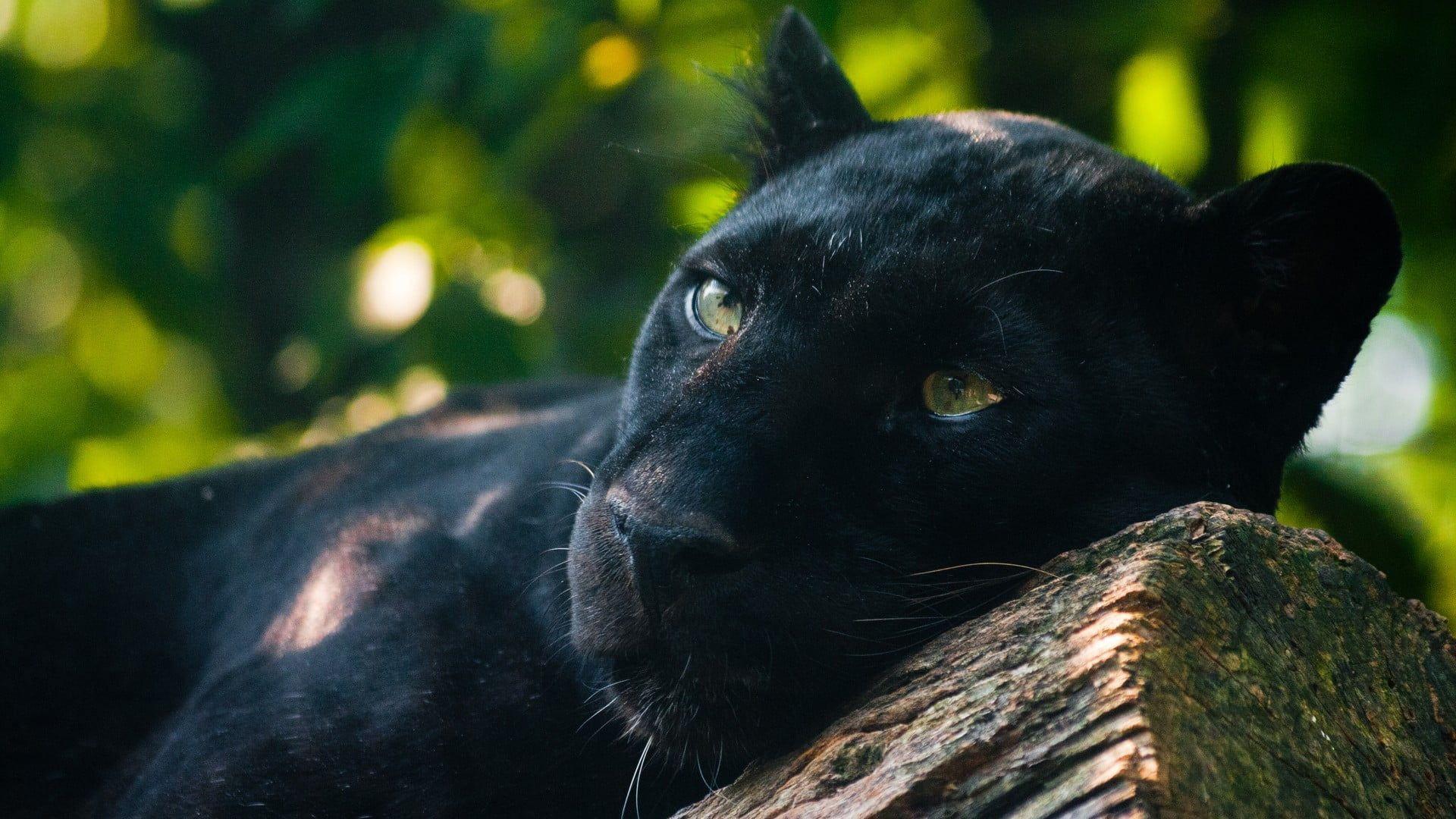 Adult Black Panther Panthers Animals Photography Jaguar