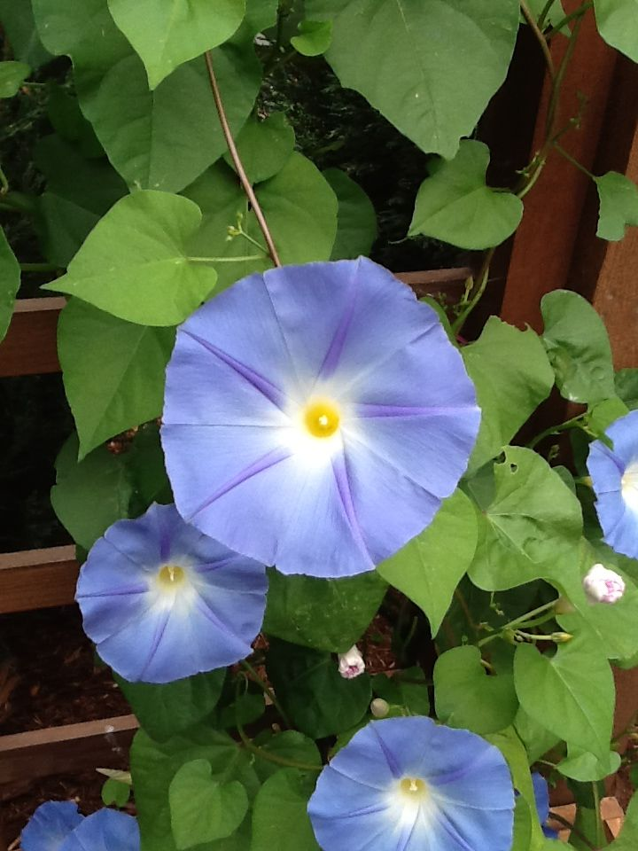 Pin By Patricia Swenson On Morning Glories Plant Leaves Blue Morning Glory Morning Glory