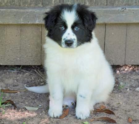 Addie The Great Pyrenees Mix Pictures 77568 Border Collie Mix