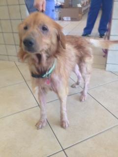 Adopt Leo On Golden Retriever Rescue Pet Adoption Dogs Golden
