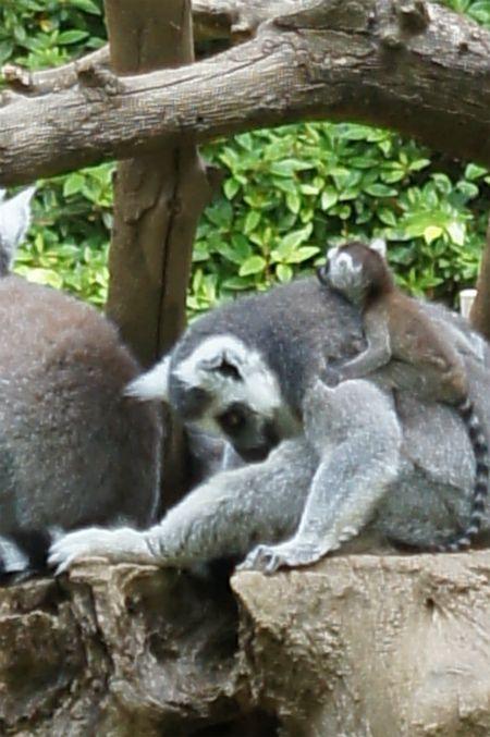 千葉市動物公園 ワオキツネザル 動物公園 動物 哺乳類