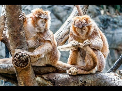 The Beauty Of Monkey Play In The Amazon Forest Full Hd 1080p
