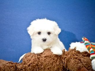 Teacup Martin Maltese Puppy Maltese Puppy Maltese Puppies For