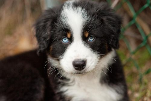 Pin By Carol Easter On Animals Dog Breeds Cute Animals Aussie Dogs