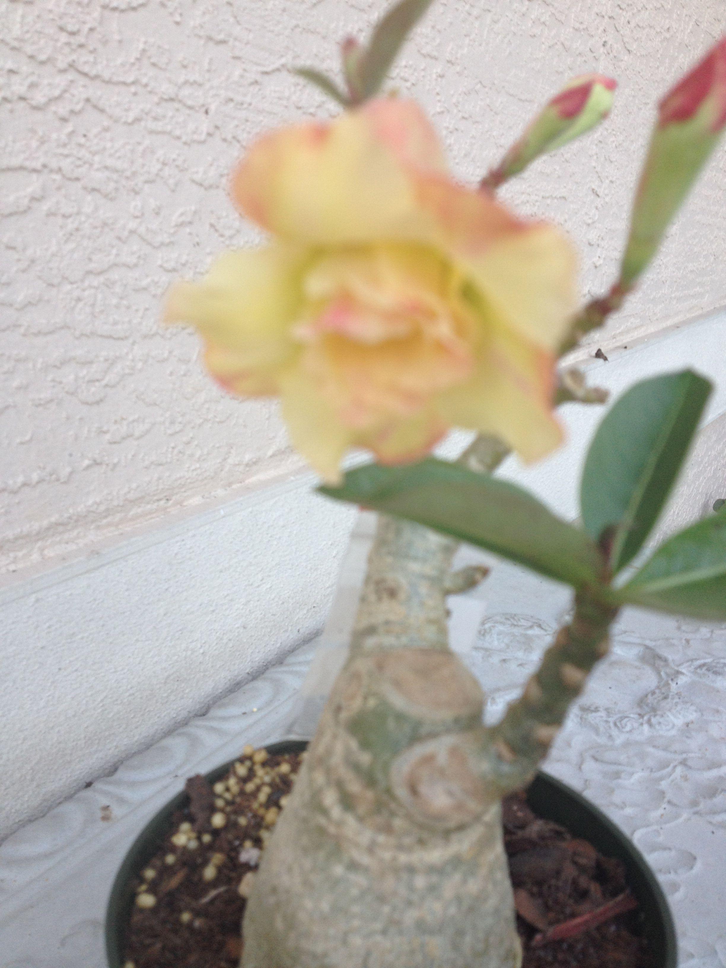 Desert Rose Types Of Flowers Desert Rose Flowers