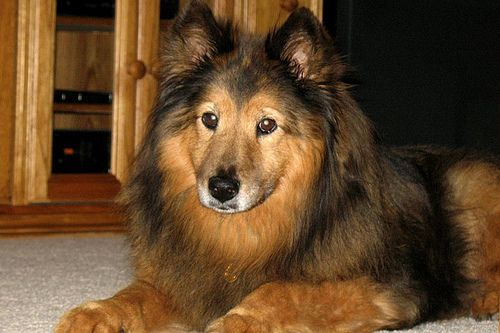 Sheltie Mix Sheltie Cute Animals