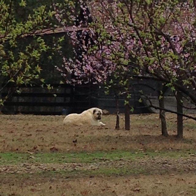 Smudge's spring afternoon. #mossmountainfarm #joy # ...