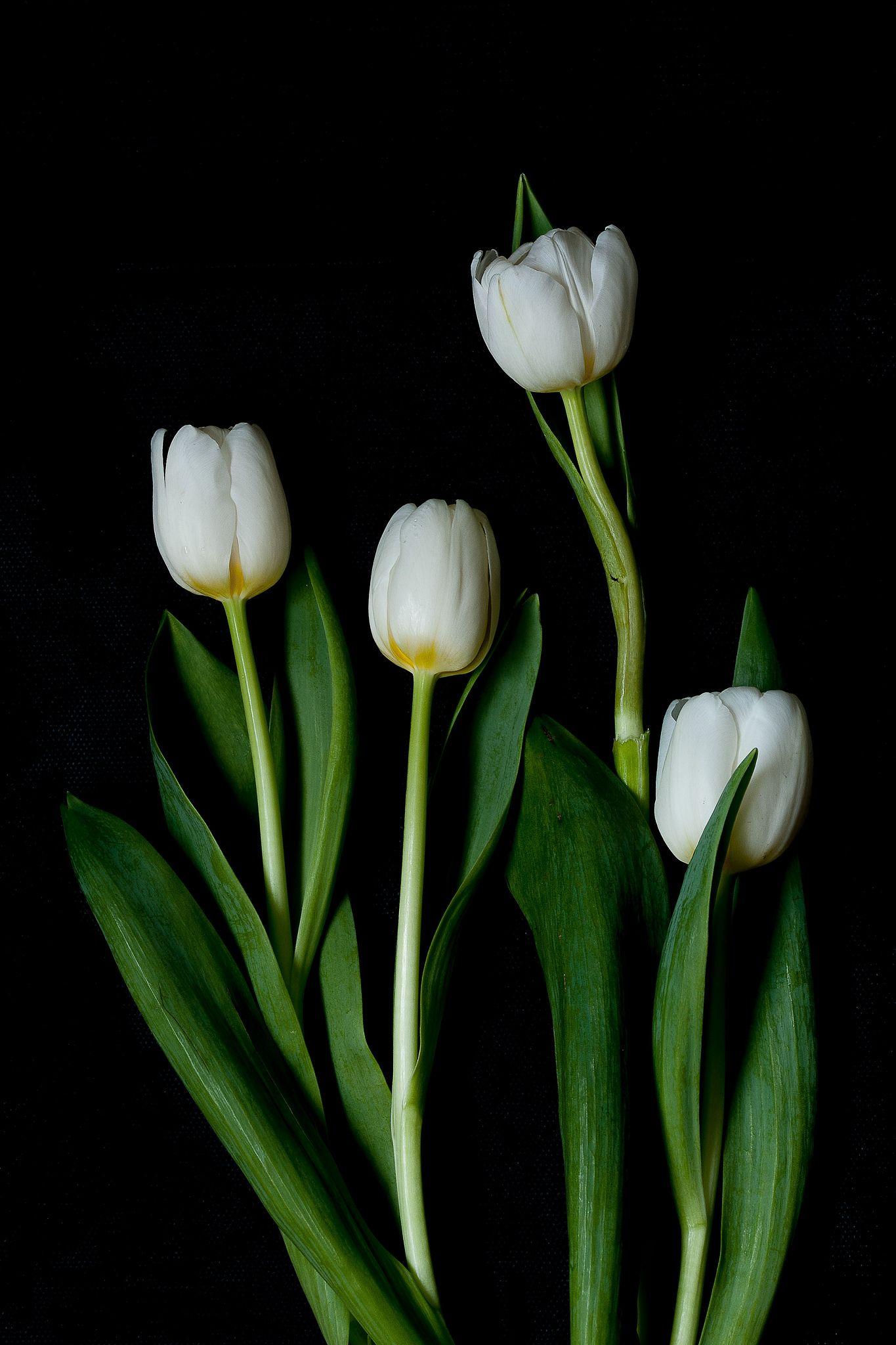 Tulip Flowers Black Background White Flower Wallpaper Tulips Flowers