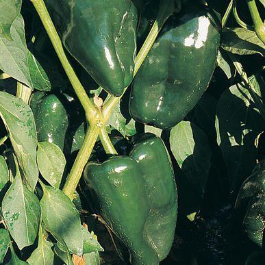 Ancho 211 Organic Pepper Seeds Capsicum Annuum Free Bonus 6
