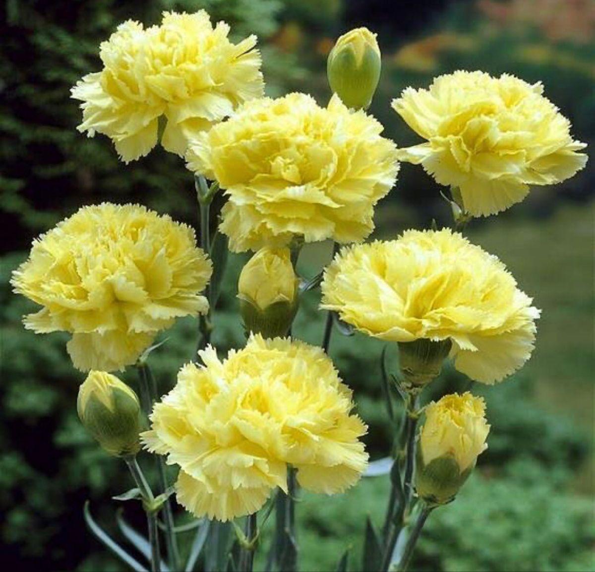 Yellow Carnations Yellow Carnations Carnation Flower Carnation Plants