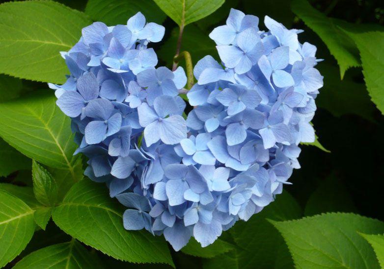 Hydrangea Flower Head In The Shape Of A Heart How Sweet Spring Garden Planting Hydrangeas Heart In Nature