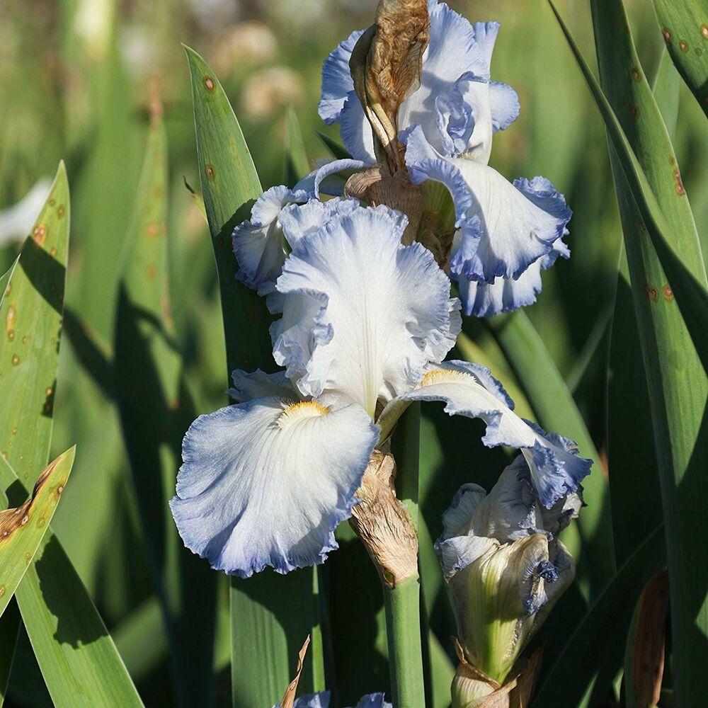 2 Blue Iris Bulbs Flower Perennial Garden Pots Graceful Home Bonsai Plant Seeds Bulbs Plants Bulbsplants Bu Bulb Flowers Planting Bulbs Flowers Perennials