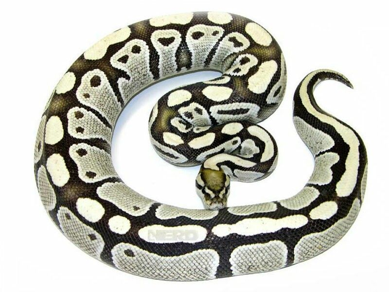 Dessert Ghost Ball Python Pet Snake Snake