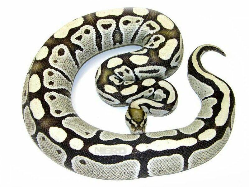 Dessert Ghost Ball Python Pet Snake Snake