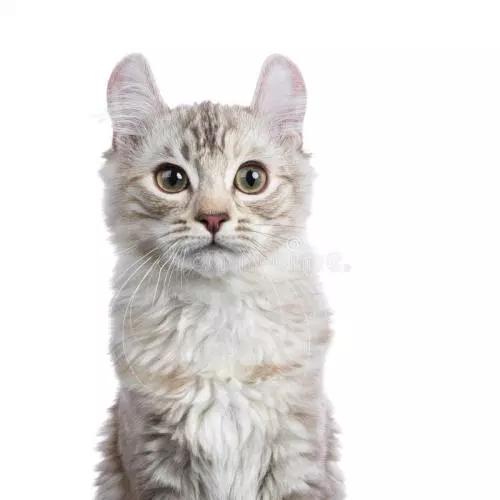 American Curl Cat American Curl American Bobtail Cat American Curl Kittens