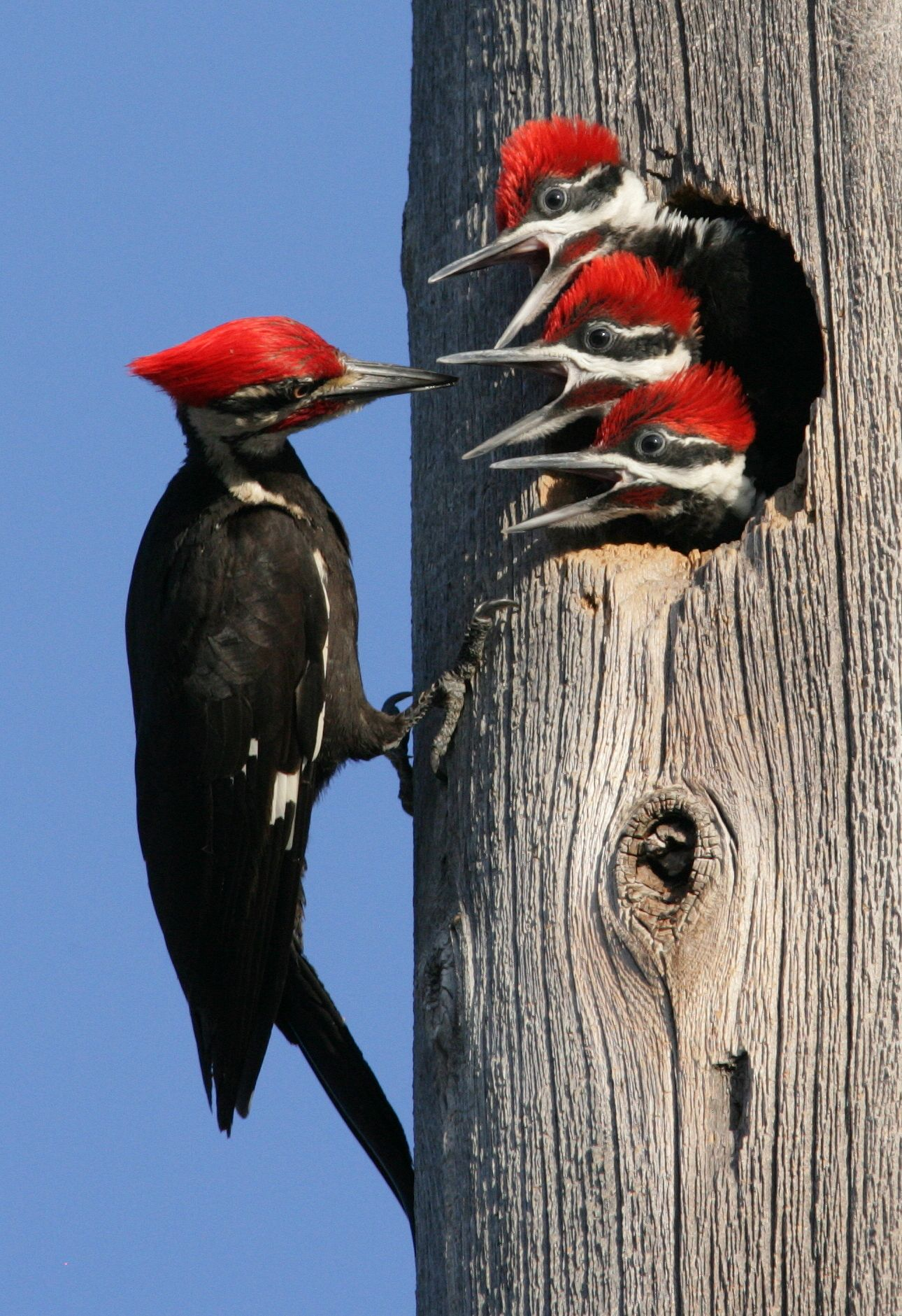 Pileated Woodpecker By Hal And Kirsten Snyder Via C National