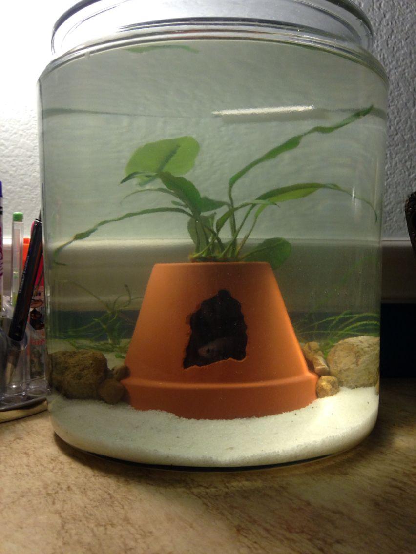 Betta Fish Planted Bowl 2 Gal Jar You Can Get At Target Anubias