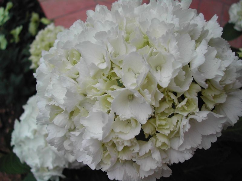 Resultado de imagem para rosa inglese bianca bouquet