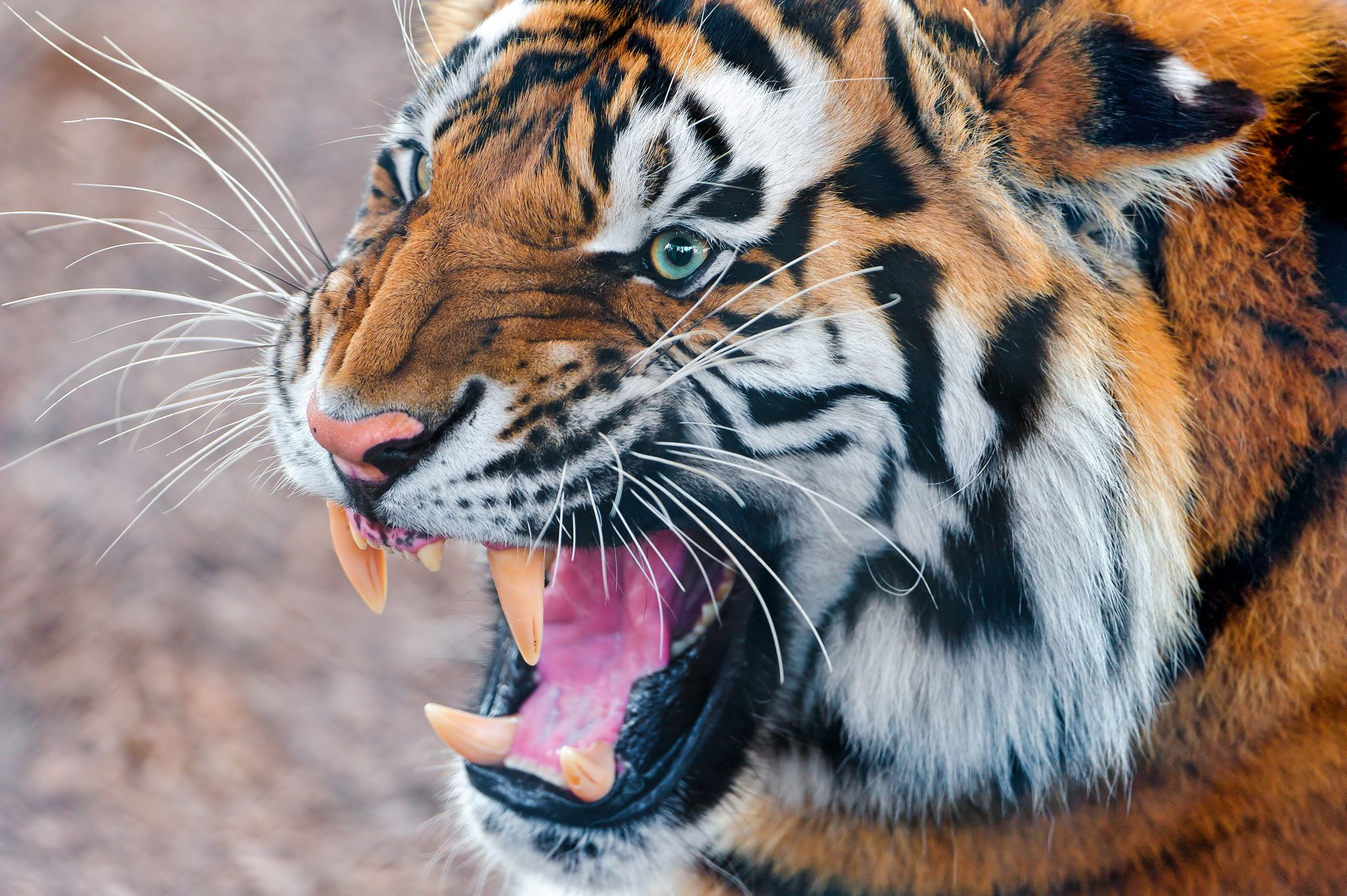Angry Tiger Again In 2021 Tiger Wallpaper Tiger Images Tiger Pictures