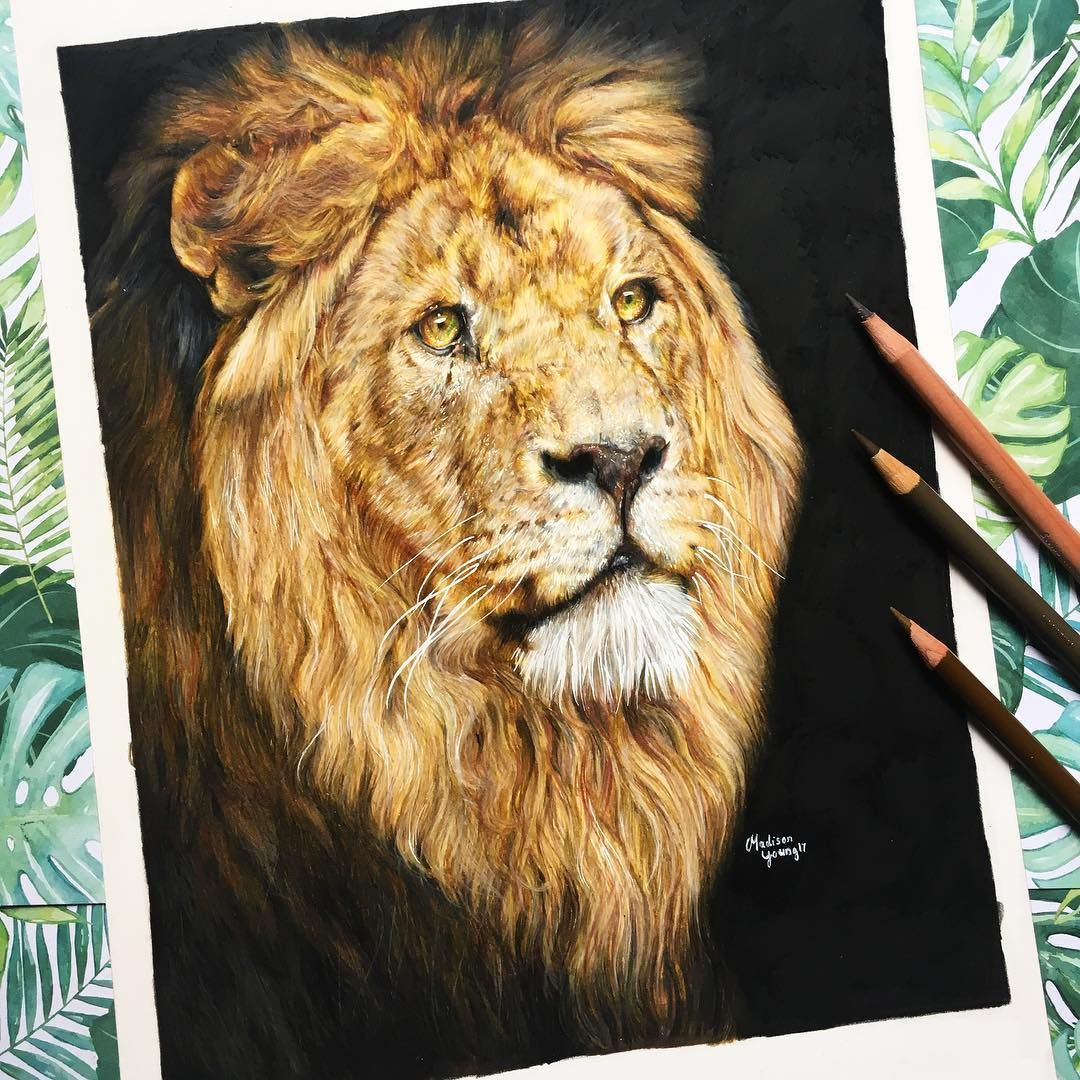 Lion Drawing By Madison Pj Young Lion Drawing Drawings Color
