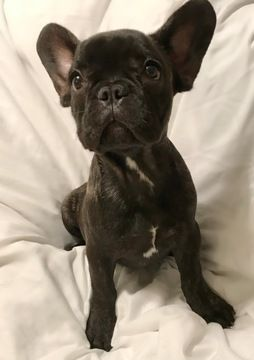 French Bulldog Puppy For Sale In Tampa Fl Adn 47644 On
