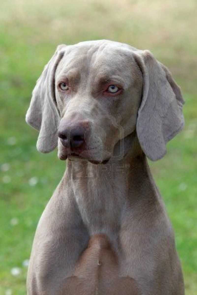 Pin By Rickey On Dogs Large Dog Breeds Dog Breeds Dogs