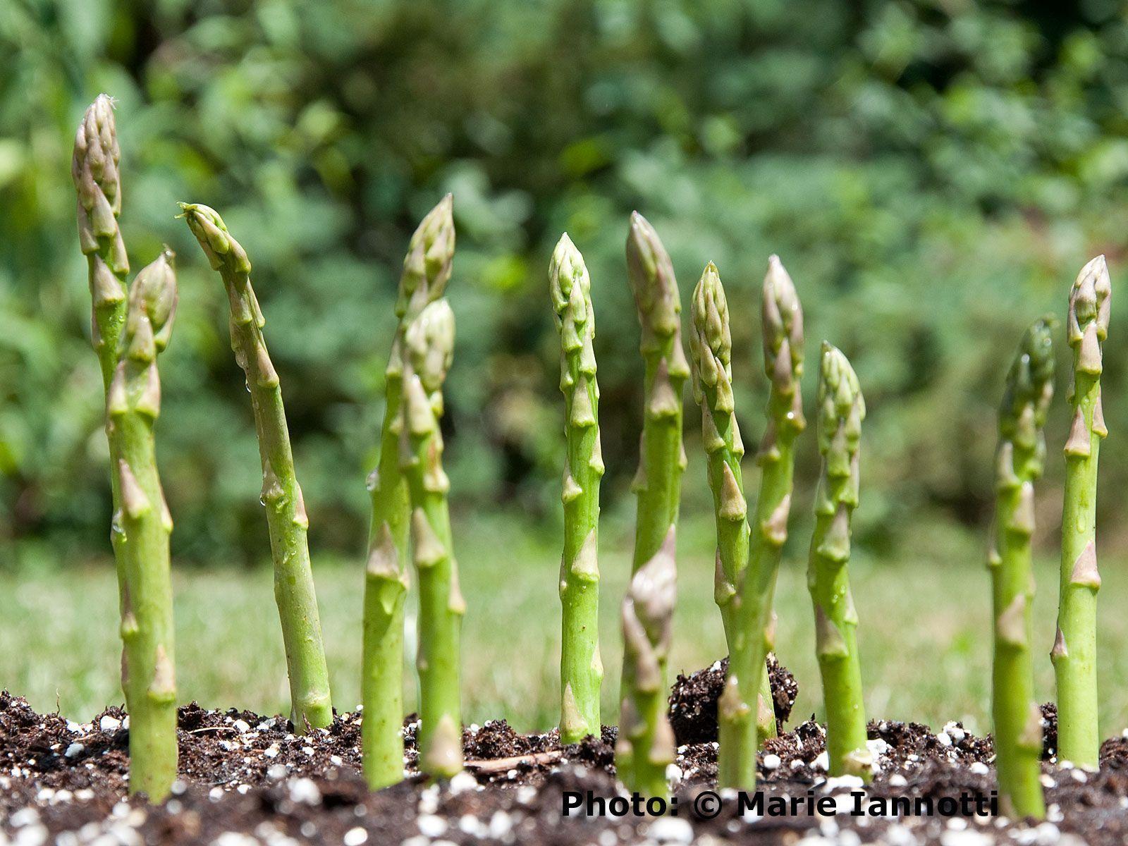 Grow Delicious Asparagus With These Tips Asparagus 400 x 300