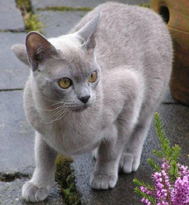 Blue Burmese That Looks So Much Like My Lady Miskena Midnight Marler Razas De Gatos Gatos Gatos Bonitos