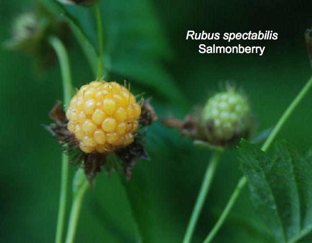 Native Plants To Oregon Part - 20: Native Plants For Oregon: Portland, Gresham, Happy Valley