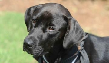 #SCAROLINA #URGENT ~ Sammy ID 20355855 is a Neutered 1yo Labrador Retriever. He learned to jump fences when left outdoors unattended & he's afraid of thunderstorms - so he'd prefer to be kept indoors when no one's at home. He's looking for a loving #adopter or #rescue at the SPARTANBURG HUMANE SOCIETY 150 Dexter Rd  #Spartanburg SC 29303 adoptions@spartanburghumane.org Ph 864-583-4805