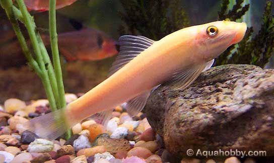 Chinese Algae Eater Cae Gyrinocheilus Aymonieri Algae Aquarium Maintenance Aquarium Fish