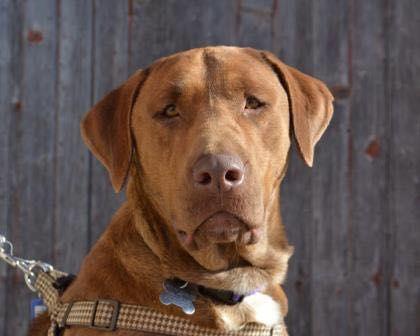 Meet Hershey A Mastiff Chesapeake Bay Retriever Mixed In