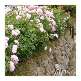 Bodendeckerrose The Fairy Gunstig Online Kaufen Mein Schoner Garten Bodendeckerrosen Garten Garten Schluter