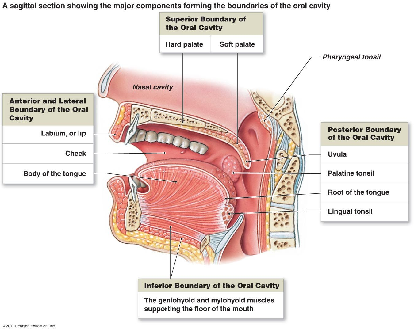 Oral Cavity A Sagittal Section Showing The Major Components Forming The Boundaries Of The Oral Cavity Throat Anatomy Human Mouth Human Anatomy And Physiology