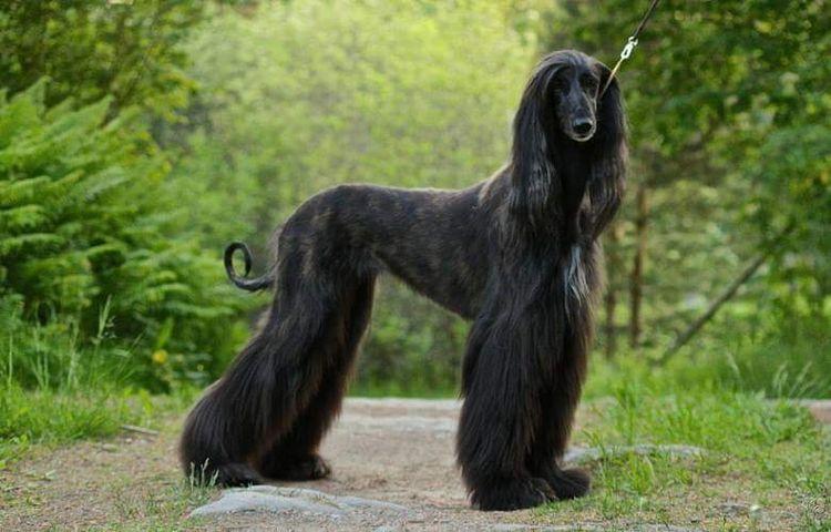 Partially Shaved Black Brindle Afghan Hound Afghan Hound Puppy