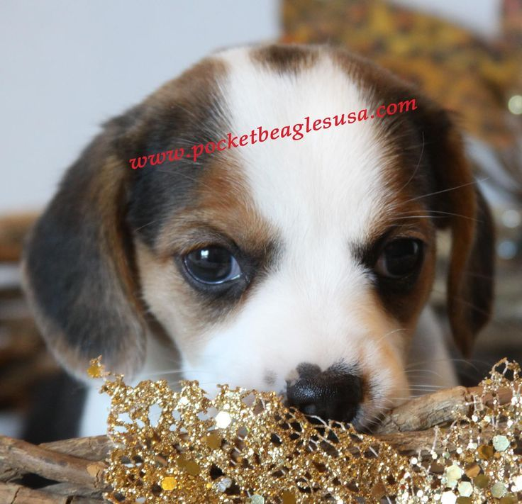 Top Tiny Beagle Adorable Dog - fe9610dd564010ecca9d79fd92f0fc0e  Gallery_322046  .jpg
