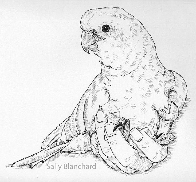Sally Blanchard Pen Drawing Goffin S Cockatoo Jordy Handicapped
