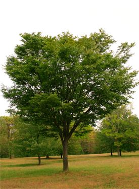 12 Fast Growing Shade Trees Green Vase Zelkova Sturdy Narrow But
