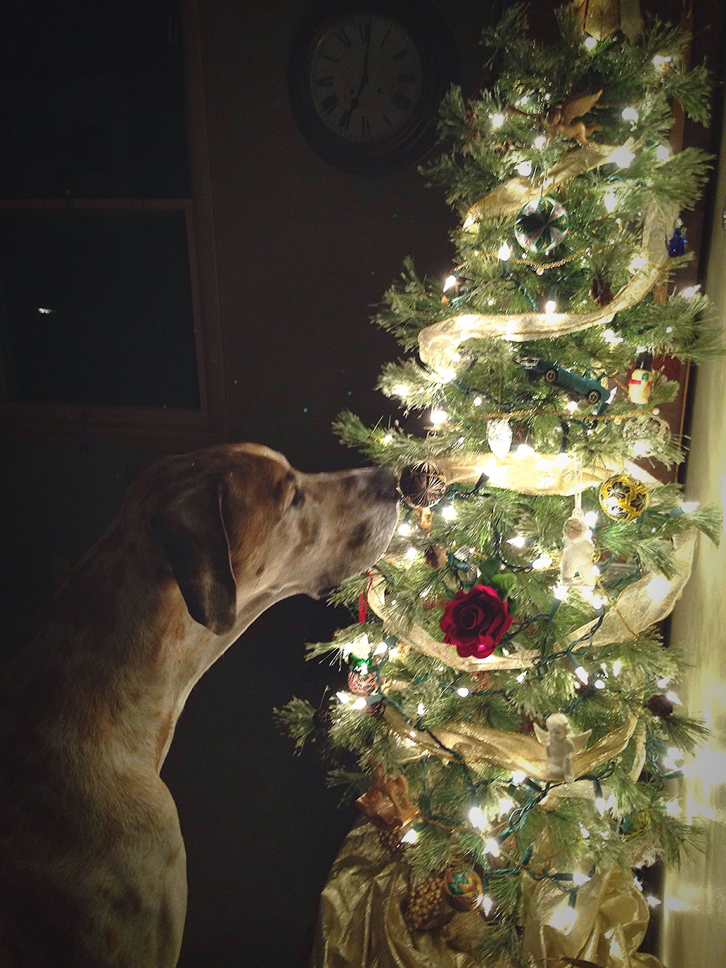 A Community Of Great Dane Lovers #Dogsfunnychristmas