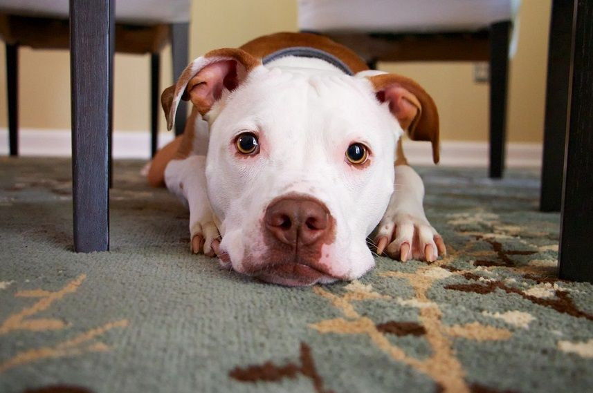 Pin On Dog Disease Or Medical Conditions