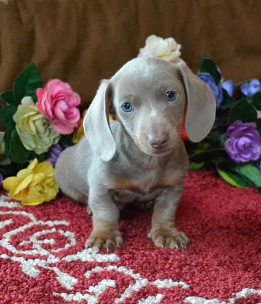 Mini Dachshund Puppies For Sale Black Tandoxie Breeder Short Hair