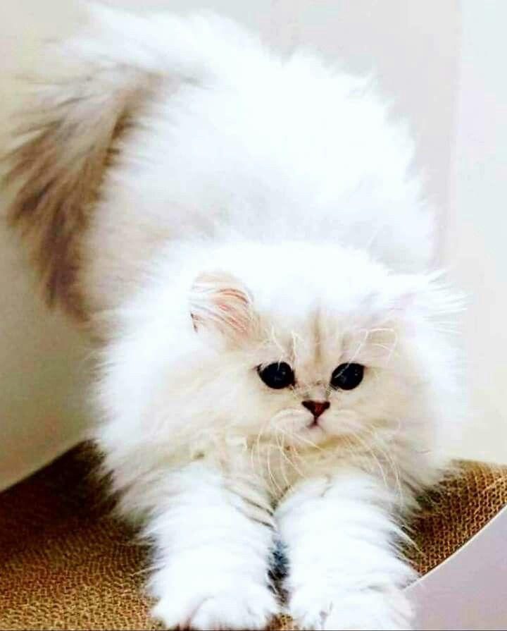 Pin By Chutima Phetthong On Kotiki Cat Cuddle Pretty Cats Kitten Breeds