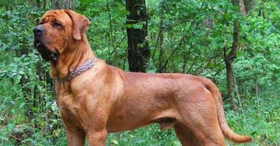 Todo Sobre La Raza De Perro Tosa Inu Razas De Perros Perros Mascotas