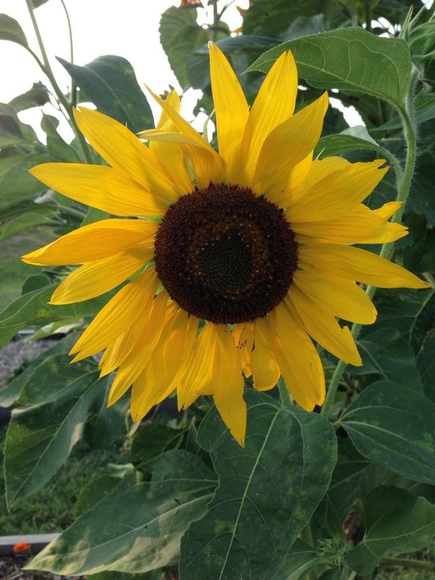 7/21/2014 My garden Sunflower.🌻   Sunflower, Plants, Flowers