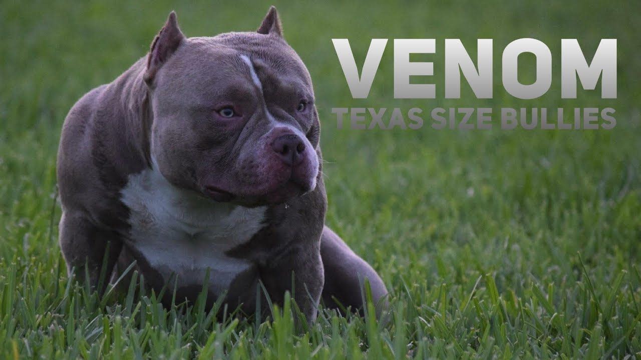 World S Best Extreme Build Pocket American Bully Louis V Line S
