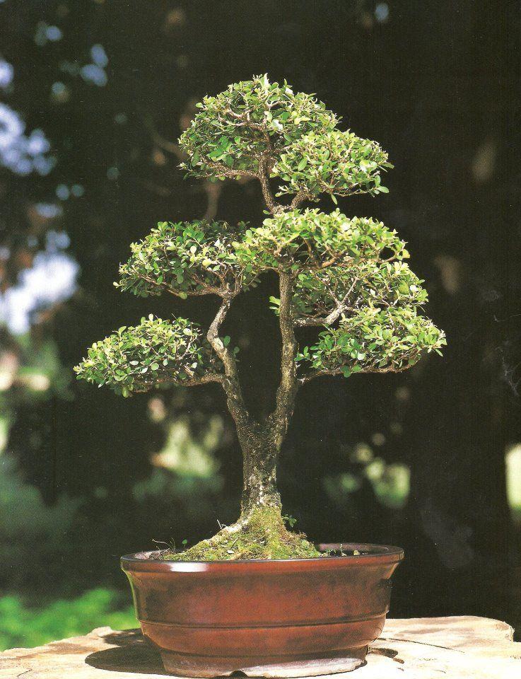 Can A Split Trunk On A Bonsai Tree Heal Bonsai Tree