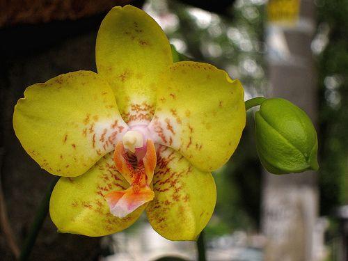 Orquidea callejera IMG_3918